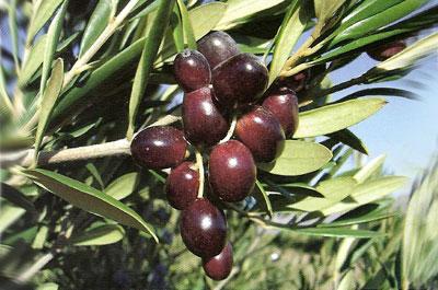 El grupo de investigadores señala que la experiencia ha demostrado que del olivo, como en el cerdo, todo o casi todo vale